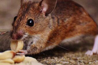 Myszy, szczury i inne gryzonie, czyli o walce z nieproszonymi gośćmi.