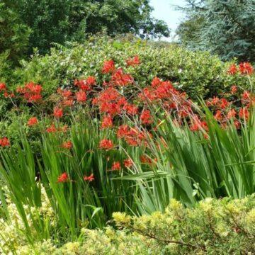 Jak sadzić krokosmie i liatry?